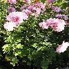 Chrysanthemum2.jpg 576 x 768 px 149.19 kB