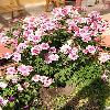 Chrysanthemum3.jpg 615 x 820 px 181.07 kB