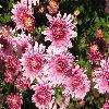 Chrysanthemum4.jpg 1024 x 768 px 207.9 kB