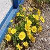 ChrysanthemumCoronariumCoronaria2.jpg 1190 x 892 px 288.45 kB