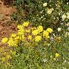 ChrysanthemumCoronariumCoronaria.jpg 1190 x 892 px 267.78 kB