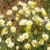 ChrysanthemumCoronariumDiscolor.jpg 1190 x 892 px 257.81 kB