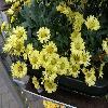 ChrysanthemumFancyThat.jpg 1127 x 845 px 168.9 kB