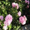 Chrysanthemum.jpg 1024 x 768 px 205.87 kB