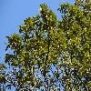 ChrysolepisChrysophylla2.jpg 1200 x 900 px 567.95 kB