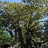 ChrysolepisChrysophylla.jpg 797 x 1200 px 586.05 kB