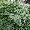 CimicifugaEuropaea3.jpg 681 x 908 px 430.32 kB