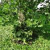 CimicifugaRacemosaCordifolia3.jpg 720 x 960 px 528.88 kB