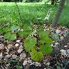 CimicifugaRacemosaCordifolia.jpg 681 x 908 px 214.46 kB