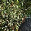 CistusSalviifolius3.jpg 1024 x 768 px 354.88 kB