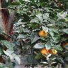 CitrusSinensis2.jpg 681 x 908 px 355.8 kB