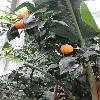 CitrusSinensis3.jpg 681 x 908 px 309.19 kB