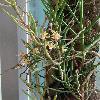 CleisostomaSimondii2.jpg 720 x 960 px 344.12 kB