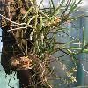 CleisostomaSimondii.jpg 681 x 908 px 177.41 kB
