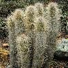 CleistocactusHyalacanthus.jpg 800 x 1200 px 539.31 kB