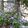 Clematis5.jpg 576 x 768 px 168.54 kB