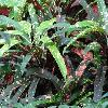 CodiaeumFranklinRoosevelt.jpg 1024 x 768 px 205.89 kB