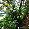 CoelogyneAsperata.jpg 720 x 960 px 409.48 kB