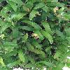 CoelogyneFimbriata.jpg 681 x 908 px 317.83 kB