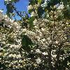 CoffeaArabica4.jpg 696 x 928 px 401.89 kB