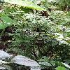 CojobaArborea.jpg 720 x 960 px 456.73 kB