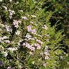 ColeonemaPulchellum.jpg 900 x 1200 px 556.7 kB