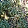 ComptoniaPeregrina.jpg 1219 x 914 px 474.03 kB