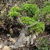 CoreopsisGigantea.jpg 800 x 1200 px 583.79 kB