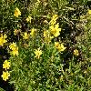 CoreopsisGrandifloraHeliot.jpg 1127 x 845 px 285.39 kB