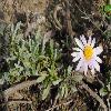 CorethrogyneFilaginifolia.jpg 900 x 600 px 390.04 kB