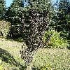 CornusAlbaHessei2.jpg 681 x 908 px 316.65 kB