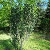 CornusAlbaHessei4.jpg 681 x 908 px 543.87 kB