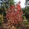 CornusAmomumObliqua.jpg 1024 x 768 px 343.64 kB