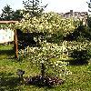 CornusControversaVariegata2.jpg 576 x 768 px 170.83 kB
