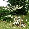 CornusControversaVariegata3.jpg 630 x 840 px 176.39 kB