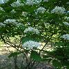 CornusDarvasica2.jpg 720 x 960 px 382.6 kB