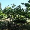 CornusDarvasica.jpg 720 x 960 px 464.69 kB