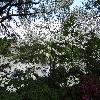 CornusFlorida4.jpg 1024 x 768 px 329.59 kB