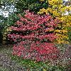CornusFloridaRubra6.jpg 720 x 960 px 580.22 kB