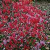 CornusFloridaRubra7.jpg 720 x 960 px 474.01 kB