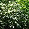 CornusKousa3.jpg 720 x 960 px 577.99 kB