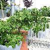 CornusKousaNicole.jpg 576 x 768 px 150.02 kB