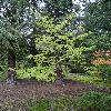 CornusMacrophylla.jpg 720 x 960 px 528.26 kB