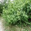 CornusMas5.jpg 1127 x 845 px 296.57 kB