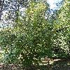CornusMas9.jpg 681 x 908 px 312.47 kB