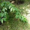 CornusNuttalliiAscona3.jpg 1127 x 845 px 296.5 kB