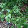 CornusSericeaFlaviramea.jpg 681 x 908 px 359.96 kB
