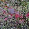 CornusSericeaOccidentalis2.jpg 720 x 960 px 499.51 kB