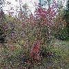 CornusSericeaOccidentalis.jpg 1024 x 768 px 326.68 kB