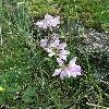 CoronillaVaria.jpg 634 x 845 px 166.29 kB
